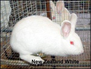 newzealandwhite